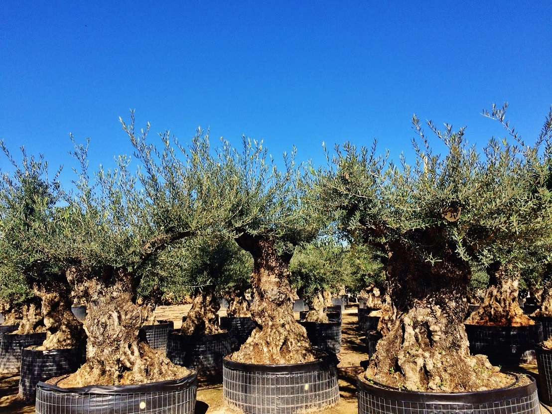Giant old Olive trees buy