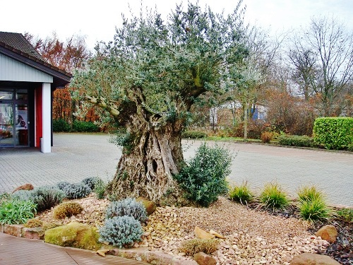 Olive tree in front of motorcycle house - Karlsruhe area - in the outdoor area all year round!