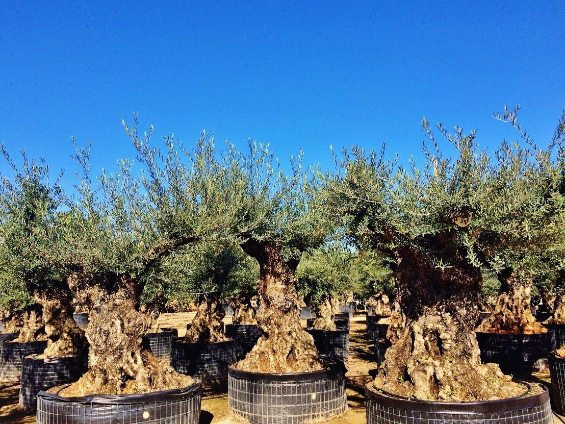 Old olive tree buy