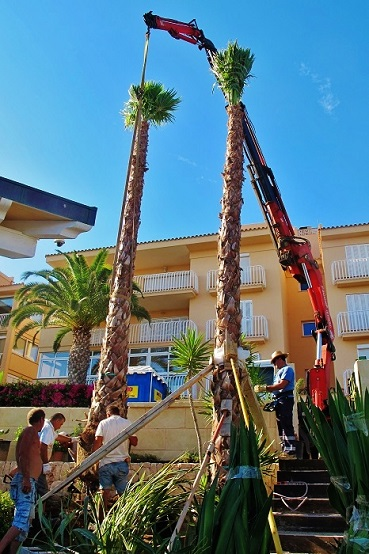 Washingtonia Balearen mallorca ibiza palmen delivery