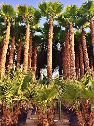 Washingtonia palmen ibiza mallorca kaufen
