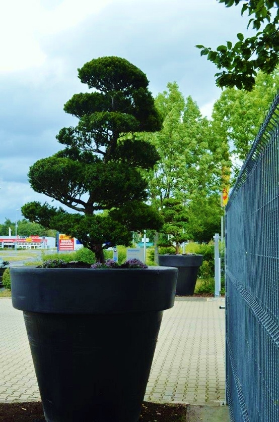 Bonsai Taxus in Gefäß
