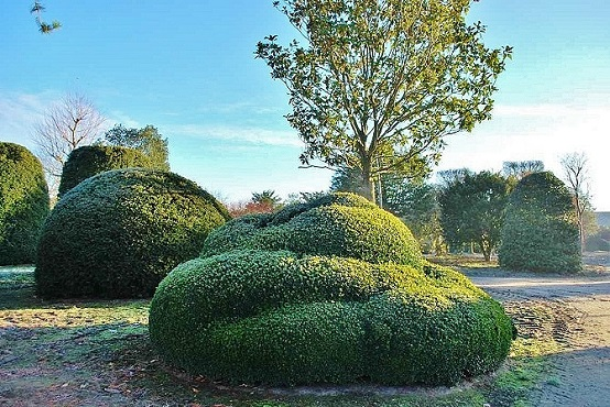 Buxus sempervirens topiary