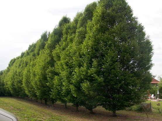 Carpinus betulus great hornbeams buy
