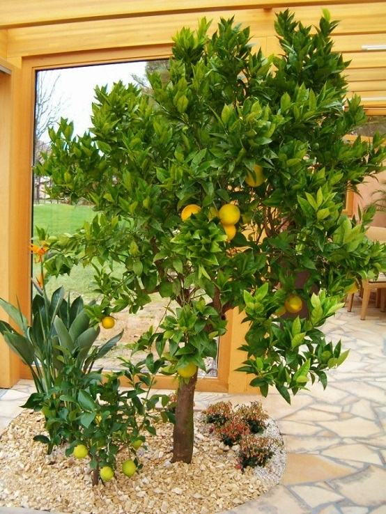 Citrus sinensis indoor