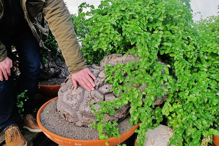 Dioscorea yams roots online buy