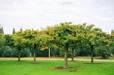 Fagus sylvatica Trees buy