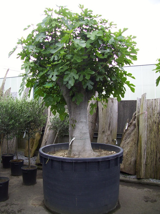 Ficus carica mega tree buy