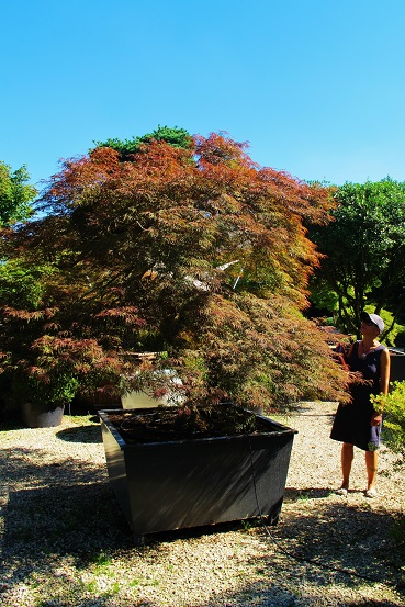 Red Acer Dissectum online buy