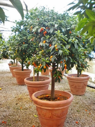 Kumquat in planter buy