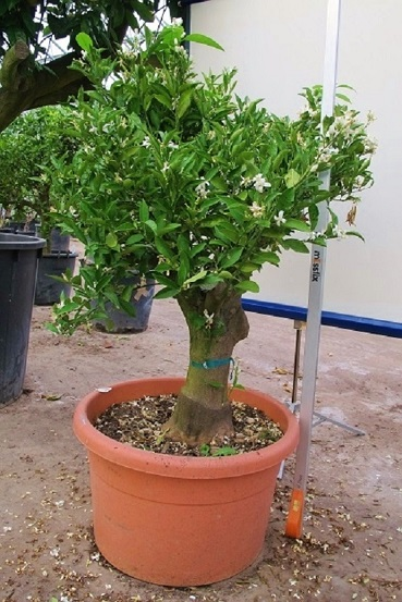 citrus reticulata buy