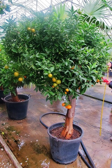 Mandarin tree with a thick stem