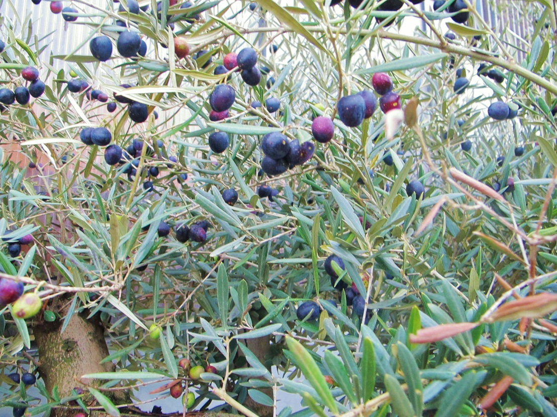 Alte große Olivenbäume kaufen frei Haus Olea europaea Shop