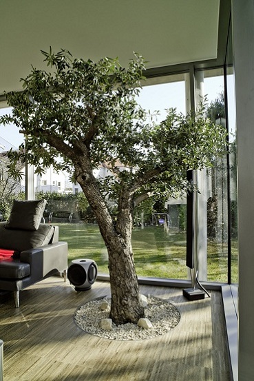 Olive tree olea europaea in conservatory