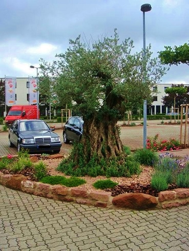 Olive tree outdoor in Germany Karlsruhe