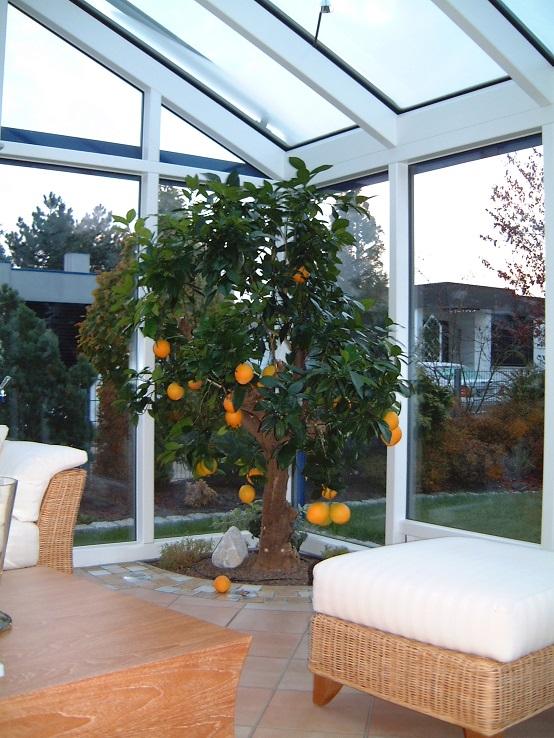 gro en orangenbaum zitronenbaum citruspflanzen shop kaufen. Black Bedroom Furniture Sets. Home Design Ideas