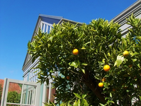 Buy citrus sinensis for orangery