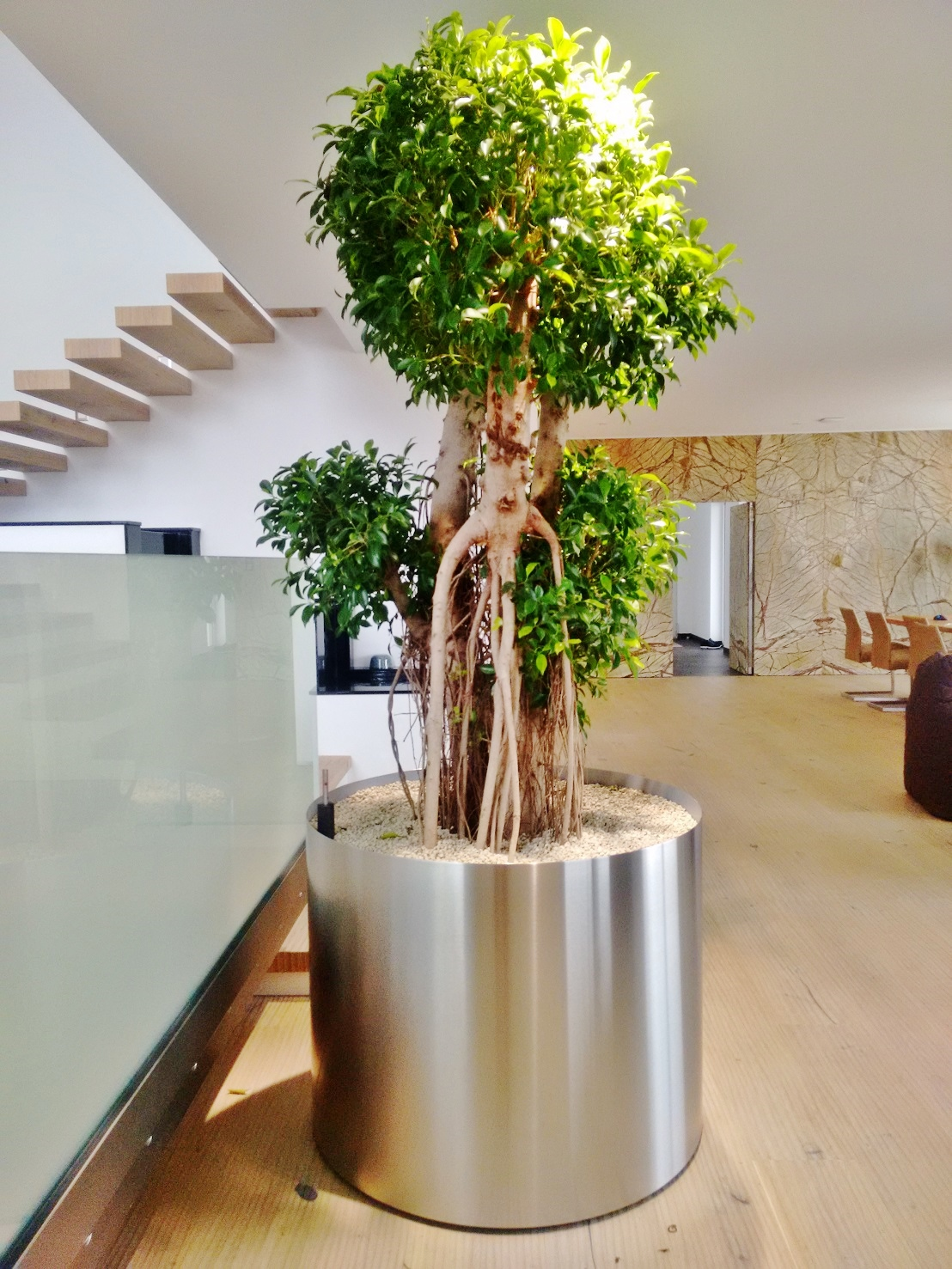 Stainless steel planter in all sizes, shapes and colors - here planted with Ficus nitida bonsai-like