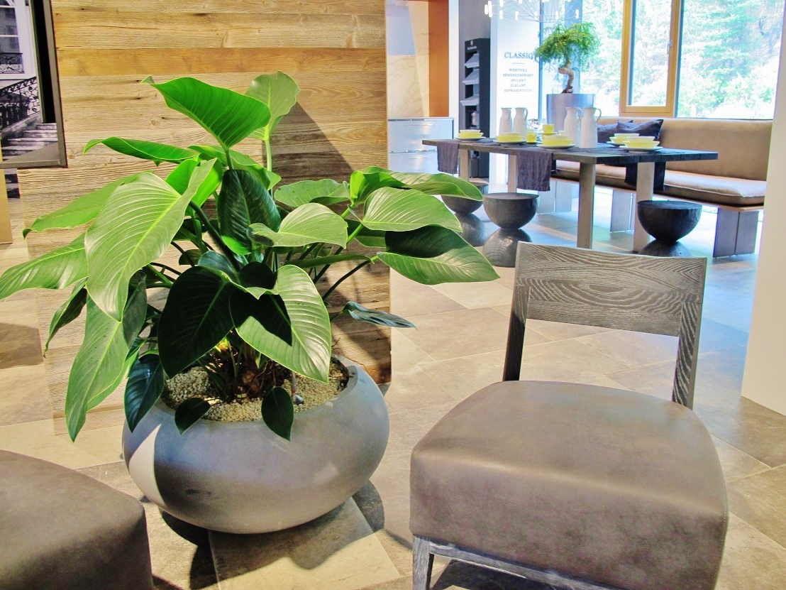 Philodendron delivered in planted gray plant planter ready-planted