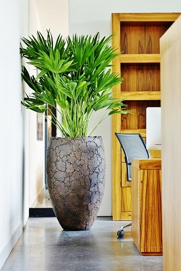 Argilla planter with Carludovica palmata buy online
