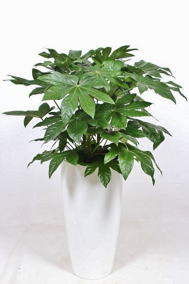 Fatsia plant in the high planter round - buy in plant shop