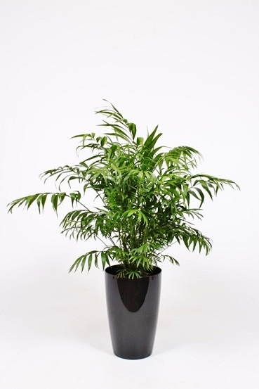 Palm in vessel pot planter round - buy in shop