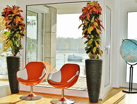 Croton plant in Seaside anthracite tube buy online