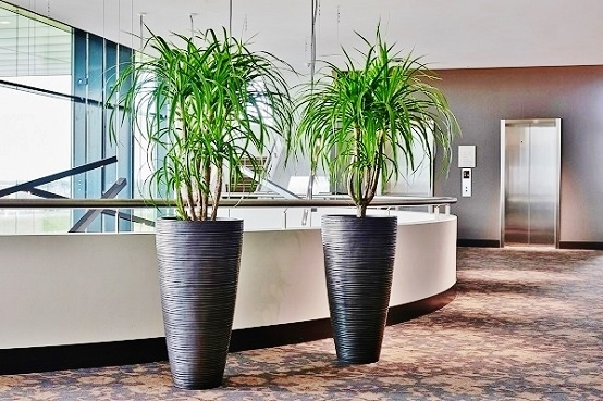 Curved Plant high planter steel look with Beaucarnea in the shop