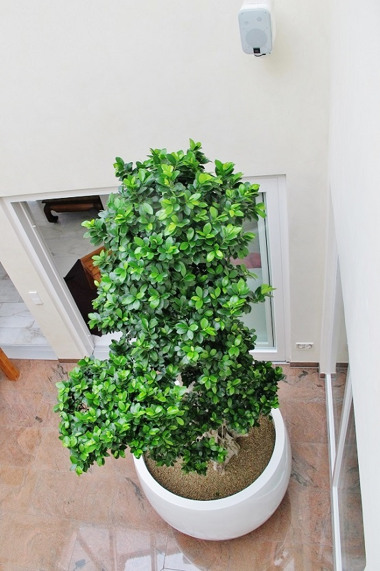 Ficus microcarpa bonsai-like from above in a atrium