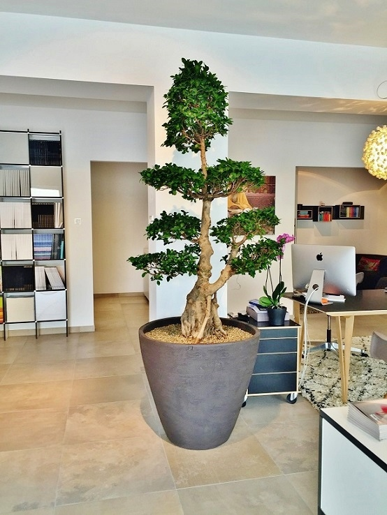 Ficus microcarpa in anthracite tube in a travel shop