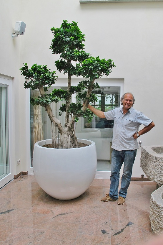 Ficus microcarpa bonsai in Fiberstone in the atrium buy online