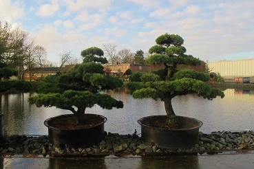 Pinus Bonsai Paar