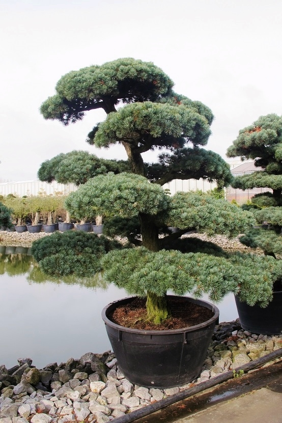 gartenbonsai ilex taxus pinus wacholder aus japan bonsai shop kaufen. Black Bedroom Furniture Sets. Home Design Ideas