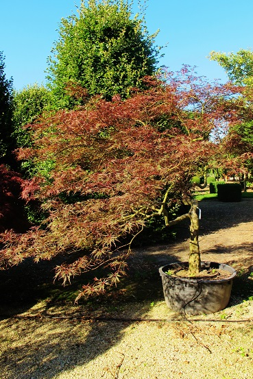 Buy Japanese red maple