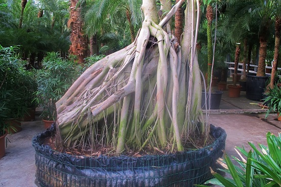 Ficus stilt roots