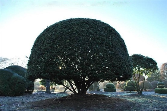 Taxus baccata Mehrstamm