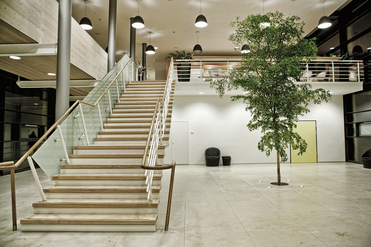 Bucida buceras, `Shady Lady` tree at the stairway of a hospital indoorlandscaping