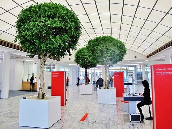 Large Ficus Nitida trees - ball high stem - in the reception of the banking house