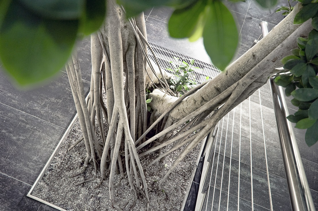 Ficus microcarpa with sting roots and aerial roots buy online