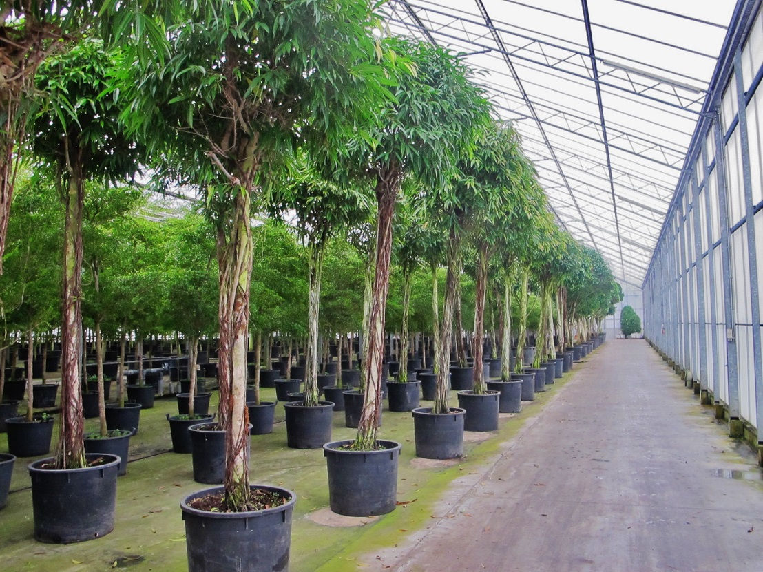 Ficus alii amstelking with round head buy