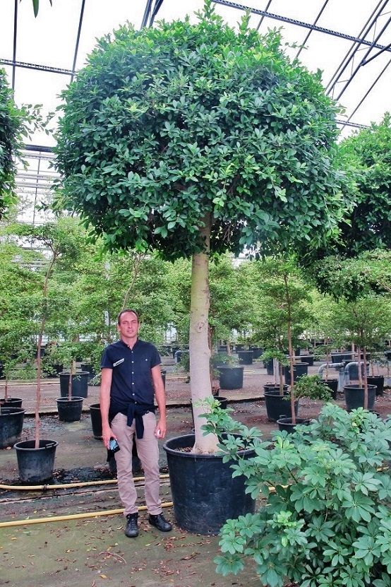 gro e exotische tropenpflanzen und b ume 2 bis 12m aller. Black Bedroom Furniture Sets. Home Design Ideas