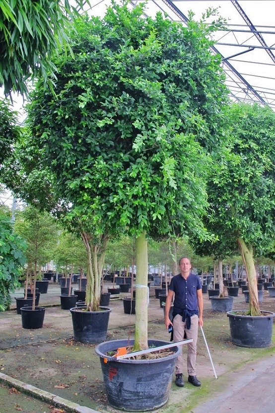 Ficus nitida with round head buy