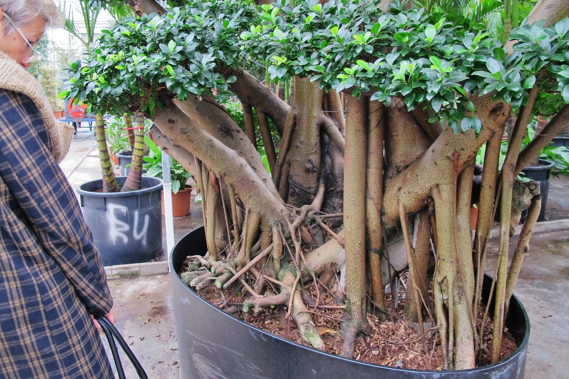 Ficus with aerial roots