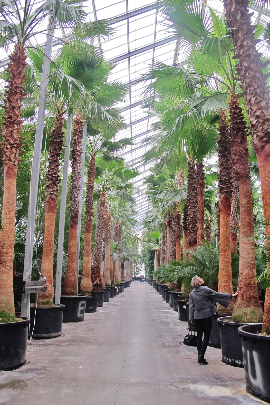 grosse Washingtonia Livingstonia Palmen kaufen