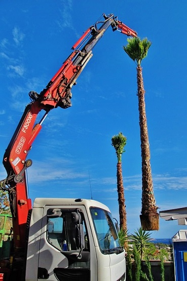 Washingtonia palme mallorca balearen