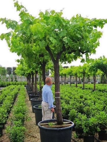 Vitis vinifera alte Zier-Weinstöcke kaufen 50 Jahre 3m