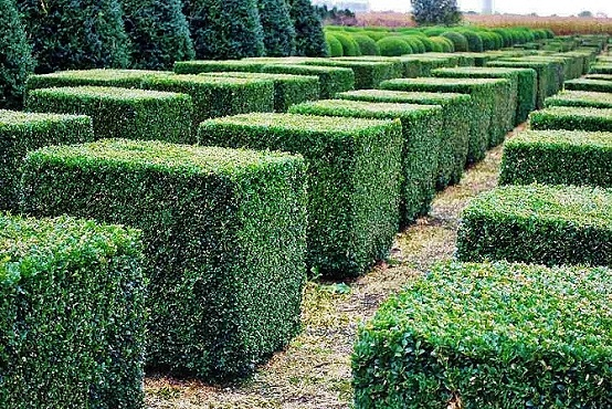buxus sempervirens buy