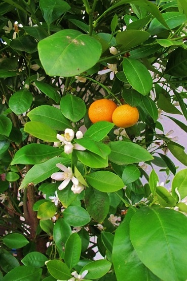 citrus calamondin with fruits
