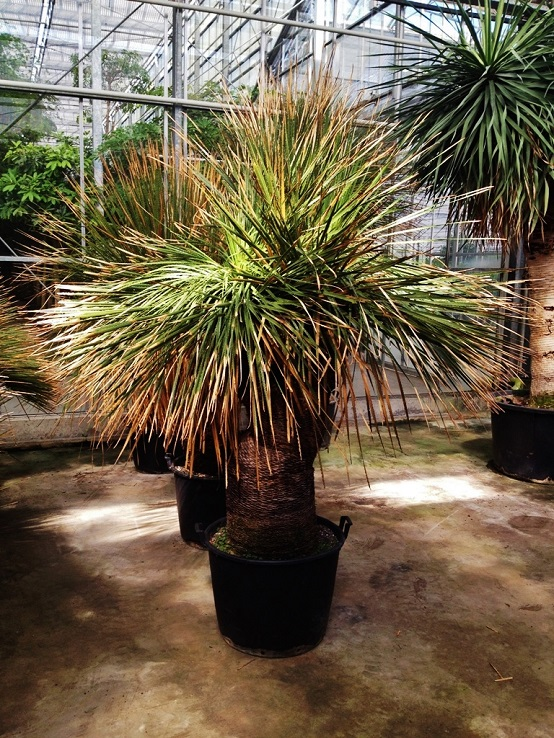 dasylirion acrotriche mexican grass tree buy