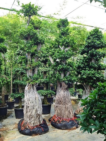ficus microcarpa xxl big bonsai tree chinese banyan buy online. Black Bedroom Furniture Sets. Home Design Ideas